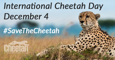 Image result for international cheetah day 2019